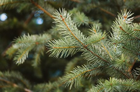 What Type Of Tree Is A Christmas Tree?