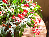 How To Care For A Christmas Cactus?